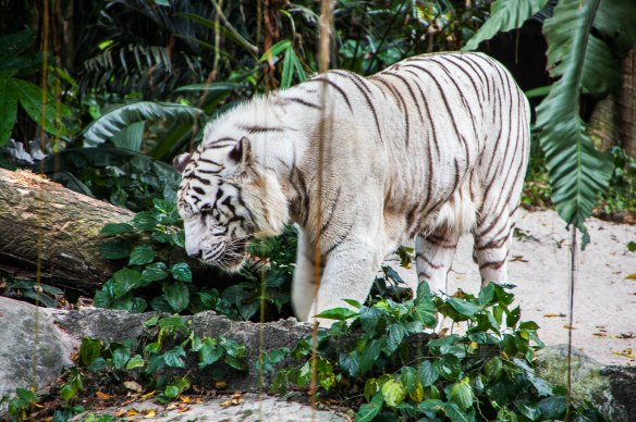 Singapore Zoo (10 von 32)