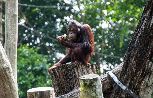 Singapore Zoo (13 von 32)