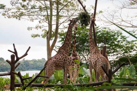 Singapore Zoo (28 von 32)